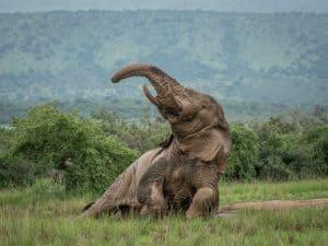 Rejse til Rwanda med vilde elefanter
