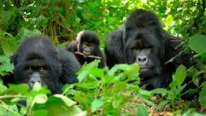 Rejse til Rwanda med Bjerggorillaer