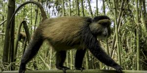 Bisate-Lodge-Rwanda-Luxury-Lodge-Rwanda-Gorilla-Safari3
