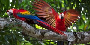 Day-7-Discover-Costa-Rica-Red-macaws-4682