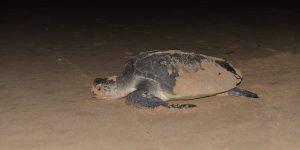 Havskildpadde-pa-Talalla-Beach2
