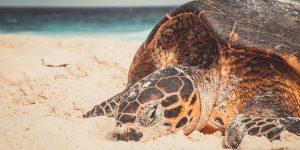 Havskilpadde Fegate Seychellerne Voya Travel