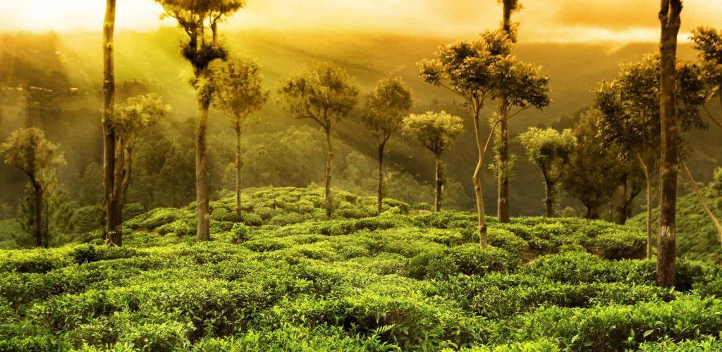 Malaysia-Cameron-Highlands-6