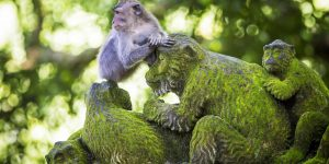 Monkey-at-Sacred-Monkey-Forest-Ubud-Bali-Indonesia