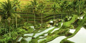 Terrace-rice-fields-in-morning-sunrise-Ubud-Bali-Indonesia