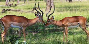 antilope-2