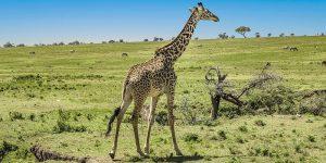 giraf-4