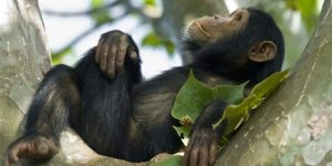nyungwe_forest_chimpRwanda