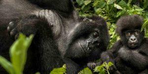oogn-stock-gorillas-2