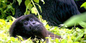 original_dimensions_gorilla