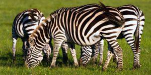 zebra-5